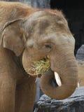 Alimentation d'éléphant Photos libres de droits