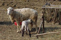 Alimentation d'agneau image stock