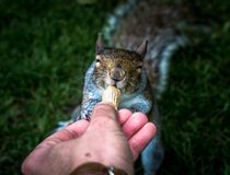 Alimentation d'un écureuil amical à Londres Photos stock