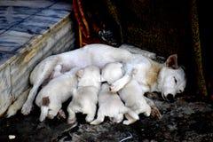 Alimentation d'un chien de mère avec des chiots images stock