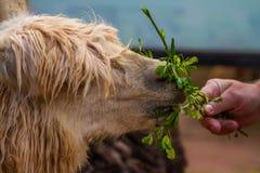 Alimentation d'un lama Photo stock