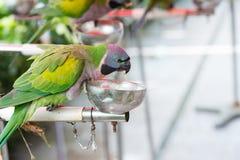 Alimentation d'un perroquet femelle de perruche de Derbyan Photographie stock
