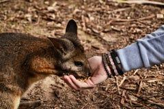 Alimentation d'un wallaby/de kangourou Photographie stock libre de droits