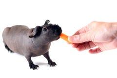 Alimentation d'une carotte à un porc maigre Image stock
