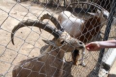 Alimentation d'une chèvre au zoo Image stock