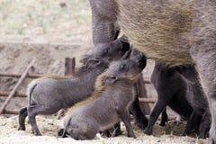 Alimentation de bébés de phacochère (africanus de Phacochoerus) Images libres de droits