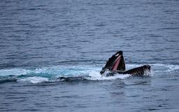 Alimentation de baleine de bosse Photographie stock