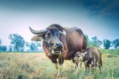 Alimentation de buffle de mère et de bébé sur l'herbe Images stock