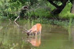 alimentation de cerfs communs photo libre de droits