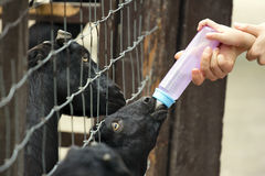 Alimentation de chèvre Photo stock