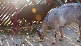 Alimentation de chèvres sur une clôture rustique banque de vidéos