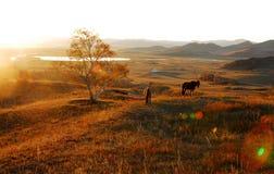 Alimentation de chevaux au lever de soleil Photographie stock