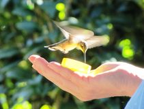 Alimentation de colibri Photos stock