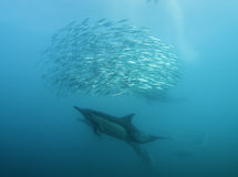 Alimentation de dauphins communs Image stock