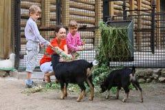 Alimentation de famille avec des branchements de chèvres de montagne Photos stock