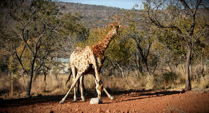 Alimentation de girafe Photographie stock