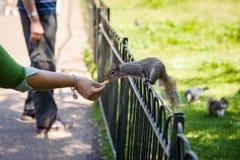 Alimentation de l'écureuil Images stock