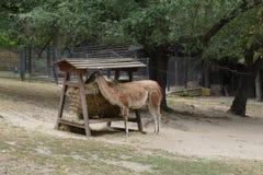 Alimentation de lama images libres de droits