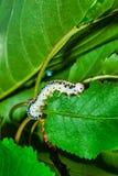 Alimentation de larve d'insecte images libres de droits