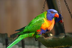 Alimentation de Lorikeet d'arc-en-ciel Photographie stock
