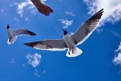 Alimentation de main humaine un vol d'oiseau de mouette dans le ciel bleu Images stock