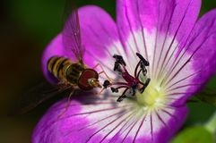Alimentation de mouche de vol plané Photographie stock