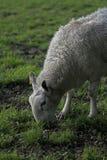 Alimentation de moutons images stock