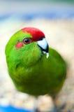 Alimentation de perroquet Photos stock