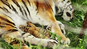 Alimentation de petits animaux de tigre clips vidéos