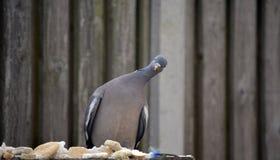 Alimentation de pigeon Images stock