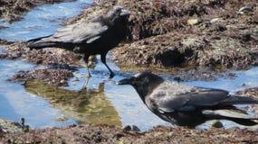 Alimentation de plage de corneilles Photos stock