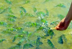 Alimentation de poissons photos libres de droits