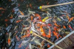 Alimentation de poissons Photo libre de droits