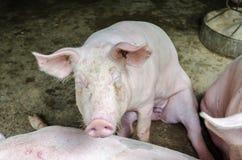 Alimentation de porc Image stock