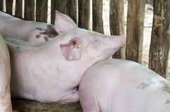 Alimentation de porc Photographie stock libre de droits