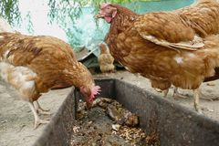 Alimentation de poules sur la basse-cour rurale traditionnelle Poule se tenant dans l'herbe sur le jardin rural dans la campagne  images libres de droits