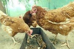 Alimentation de poules sur la basse-cour rurale traditionnelle Poule se tenant dans l'herbe sur le jardin rural dans la campagne  images stock