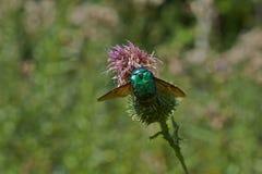 scarabée de rose sur des fleurs d'un plantain de ribwort photo