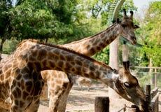 Alimentation des animaux de attente de girafe photos libres de droits