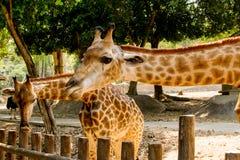 Alimentation des animaux de attente de girafe photographie stock libre de droits