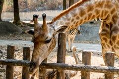Alimentation des animaux de attente de girafe images libres de droits