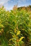 Alimentation des animaux de maïs de zone pour effectuer l'ensilage Image stock
