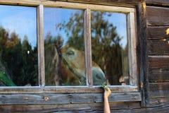 Alimentation des enfants un cheval par un verre de fenêtre image libre de droits