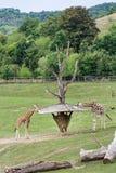 Alimentation des girafes de Rothschild Image libre de droits