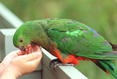 Alimentation du Roi Parrot photos stock