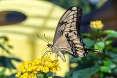 Alimentation géante de papillon de machaon photo stock