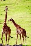 Alimentation juvénile de deux girafes Image libre de droits