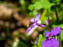alimentation principale de bombylius d'une fleur 7 photographie stock libre de droits