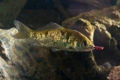 Alimentation prussienne de poissons de carpe avec le lobworm Image stock