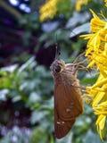 Alimentation rare même de papillon de capitaine photos libres de droits